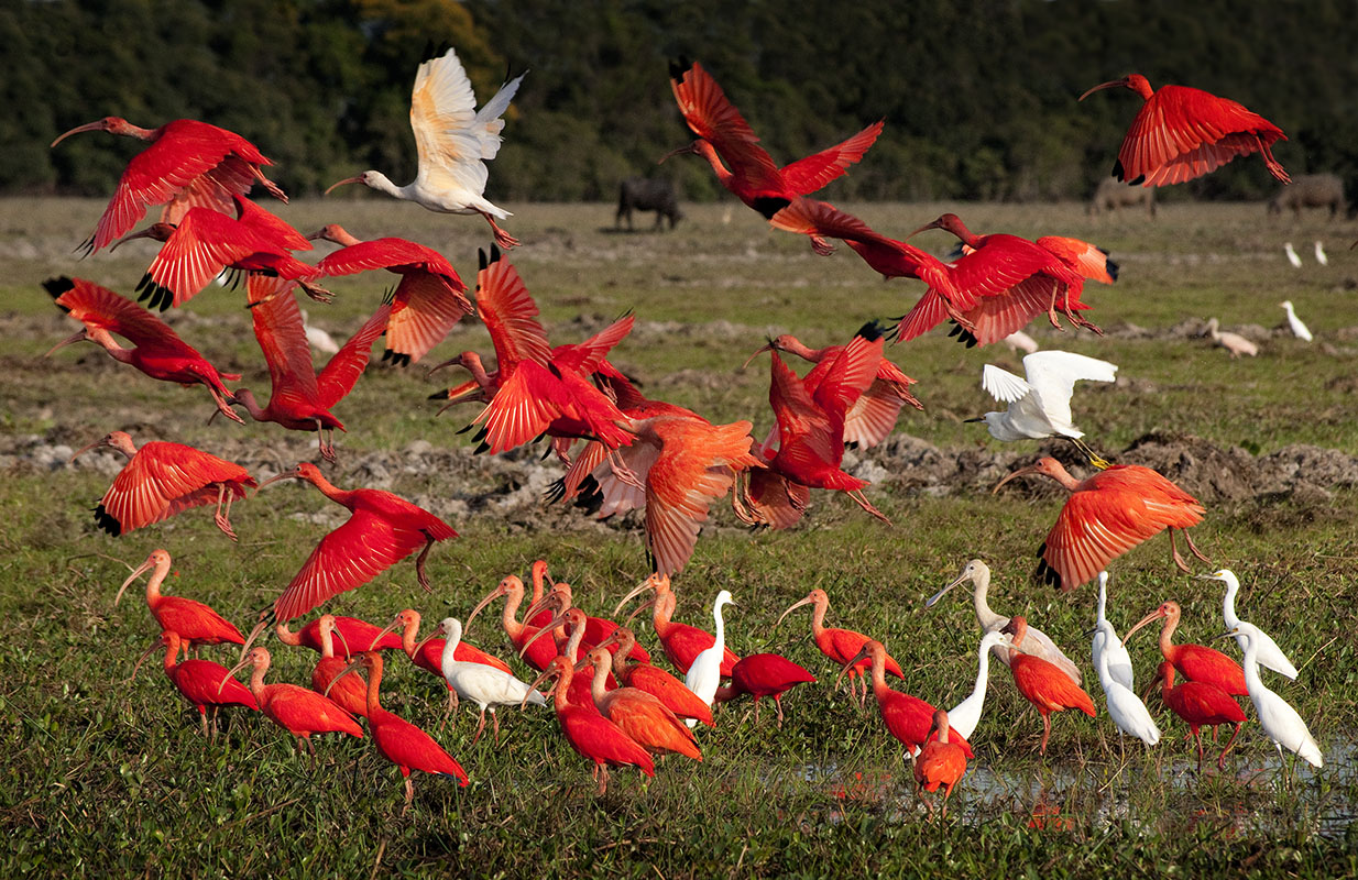 <p>Scarlat ibis (<em>Eudocimus ruber</em>) is the symbol of llanos for me. Hato Cañafistola, Venezuela.</p>