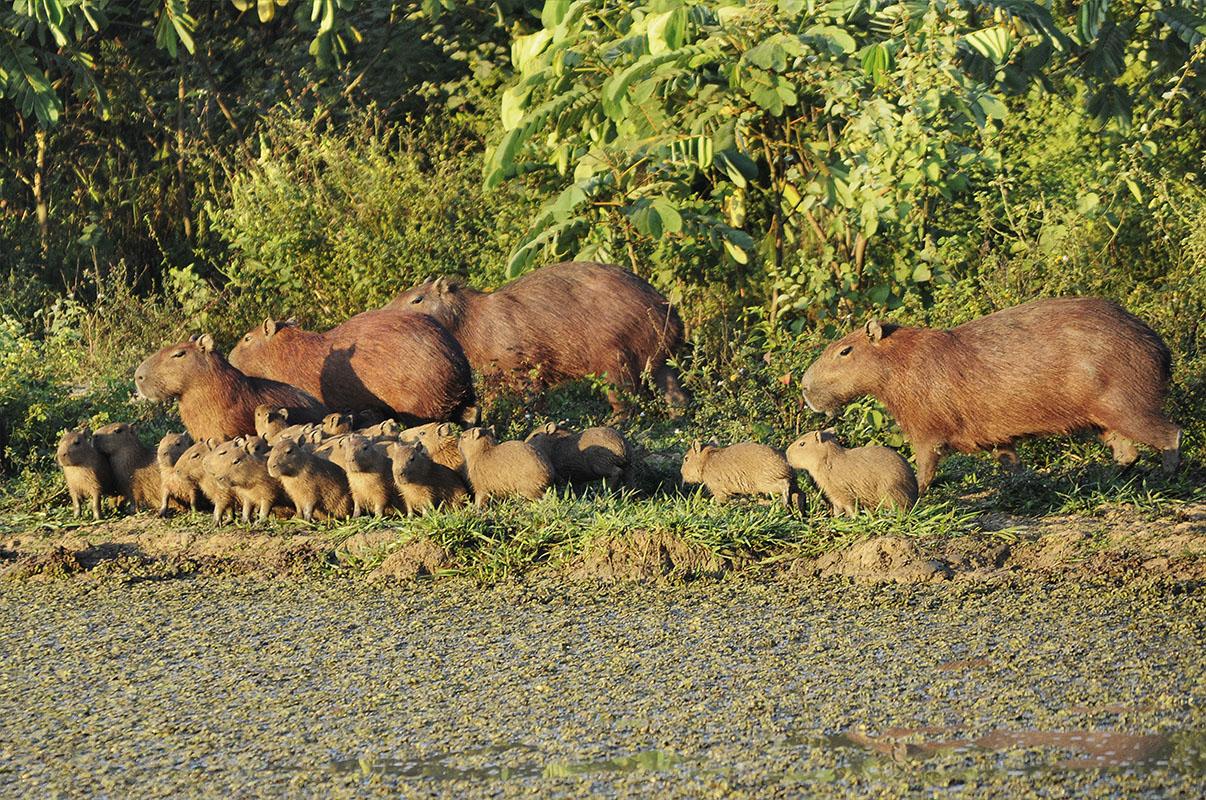 <p>Capybaras (<em>Hydrochaeris hydrochaeris</em>) are abundant inhabitans of swamps. Hato Corralito, Llanos, Venezuela.</p>