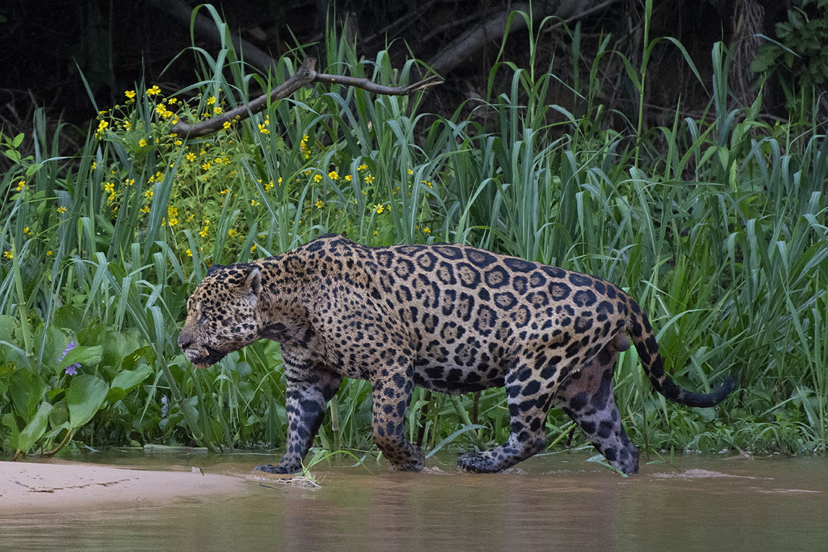 <p>I met Rafael Hoogesteijn years ago in Venezuelan llanos. Now he works for Panthera foundation in Pantanal and it is mainly thanks to him I have the chance to spot jaguars quite often. Rio Cuiaba, Brazílie.</p>