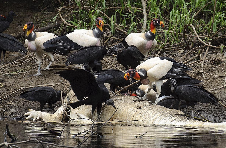 <p>King vultures (<em>Sarcoramphus papa</em>) and black vultures (<em>Coragyps atratus</em>) feasting on carcass of black caiman. Yanayacu river, National park Pacaya-Samiria, Peru (photo Radana Dungelová).</p>