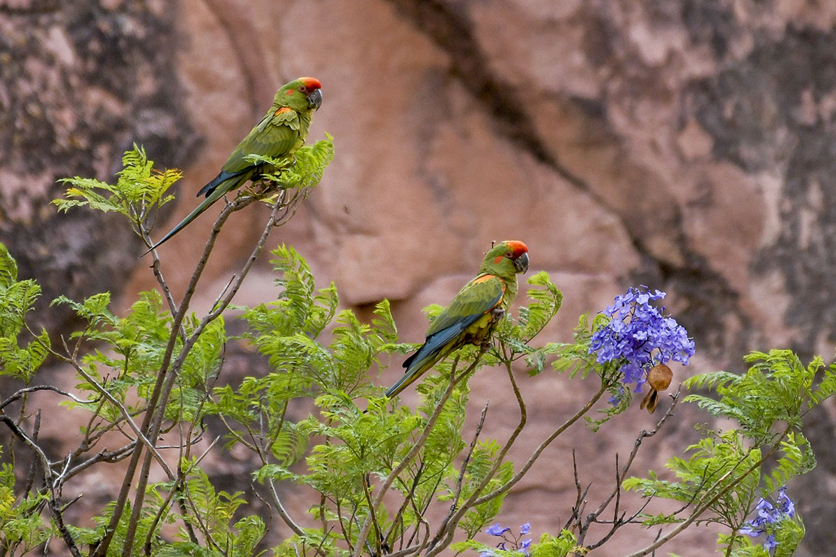 <p>Red-fronted macaw (<em>Ara rubrogenys</em>) is one of the rarest birds. Jalajala canyon, National Park Torotoro. Andes, Bolivia (photo Radana Dungelová).</p>