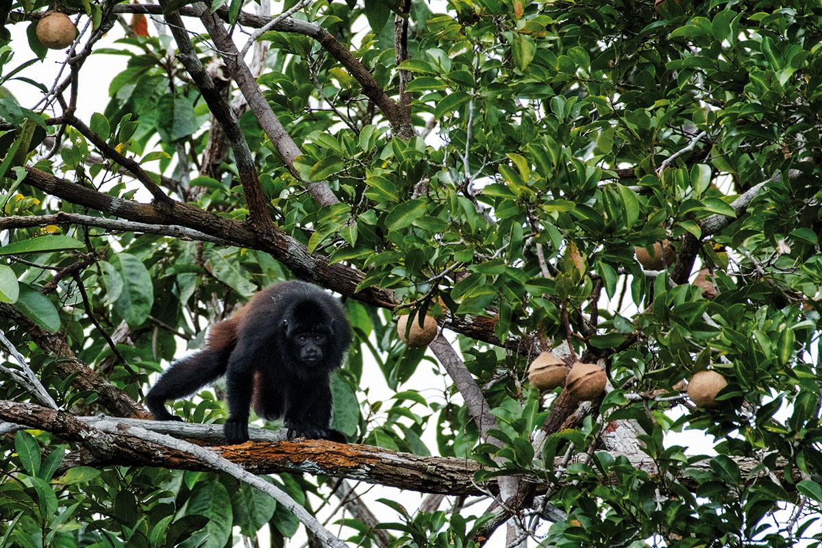 <p>The monkey I painted on the bank of Rio Baria in 2004 was later determined as a new species Neblina uakari (<em>Cacajao hosomi</em>, Boubli 2008). Laguna Danto, photo Radana Dungelová.</p>