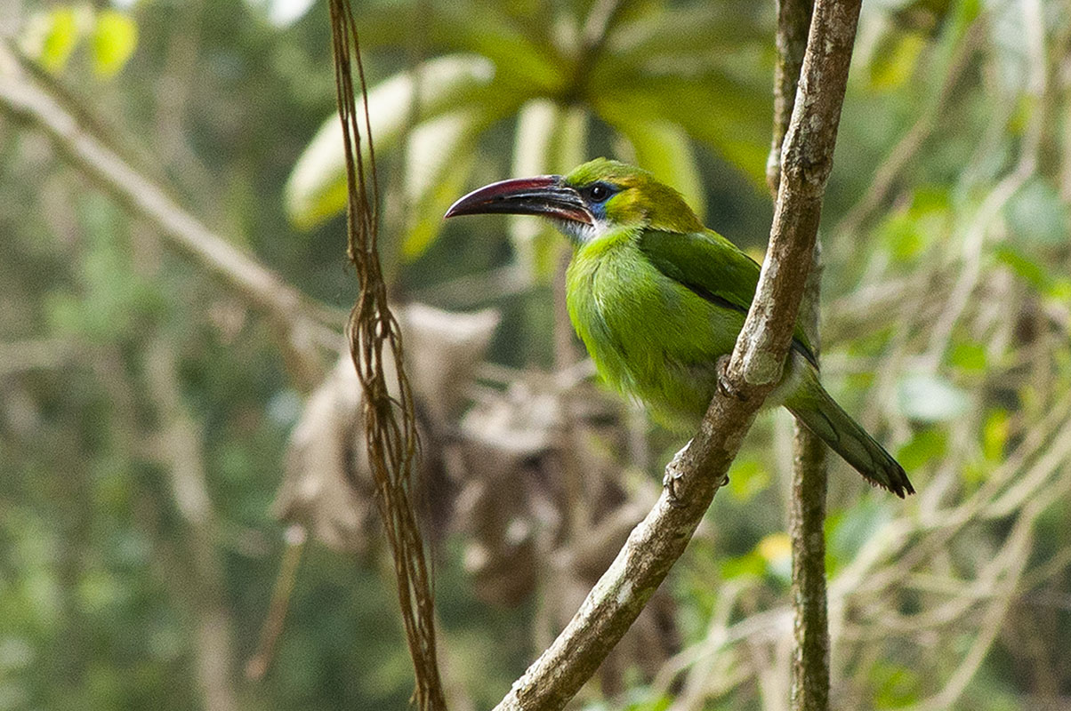 <p>Groove-billed toucanet (<em>Aulacorhynchus sulcatus</em>). Rancho Grande, Venezuela.</p>