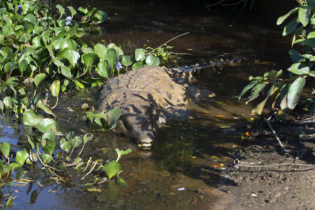 <p>I succeeded. El Cedral farm is one of the last places where this giant crocodile still survives. Hato El Cedral, Venezuela.</p>