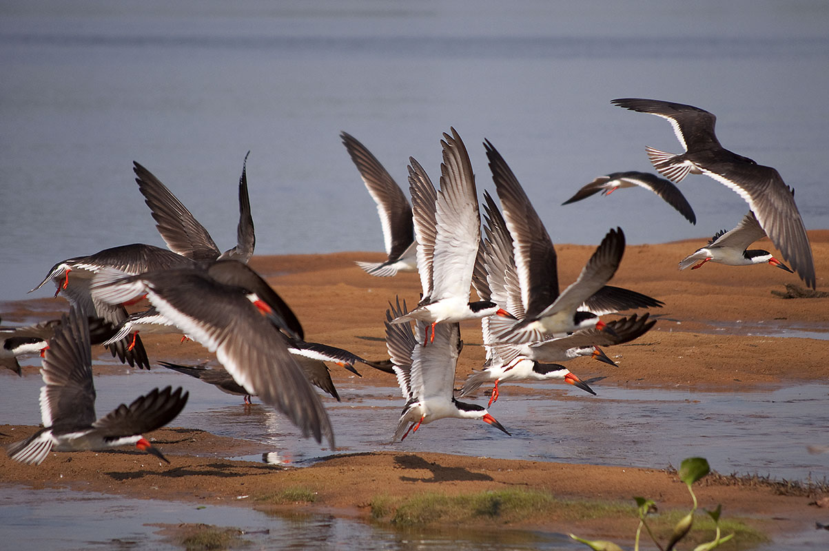 <p>Black skimmers (<em>Rhynchops nigra</em>) on Rio Negro. Fazenda Barranco Alto, Pantanal, Brazil.</p>