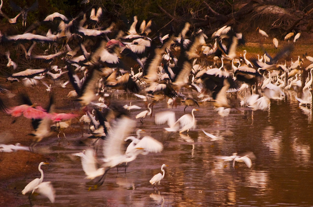 <p>Flock of wading birds near the road to Hato Cañafistola. Los Llanos, Venezuela.</p>