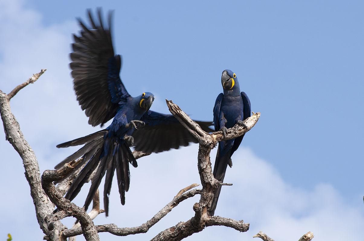 <p>Hyacinth macaw (<em>Anodorhynchus hyacinthinus</em>) is the biggest parrot in the World. Fazenda Barranco Alto, Pantanal, Brazil.</p>