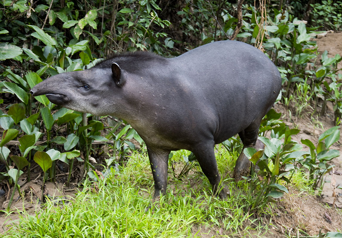 <p>Our friend tapir (<em>Tapirus terrestris</em>) whom we have been meeting for several years near the biological station Yasuní. Rio Tiputini, Ecuador.</p>