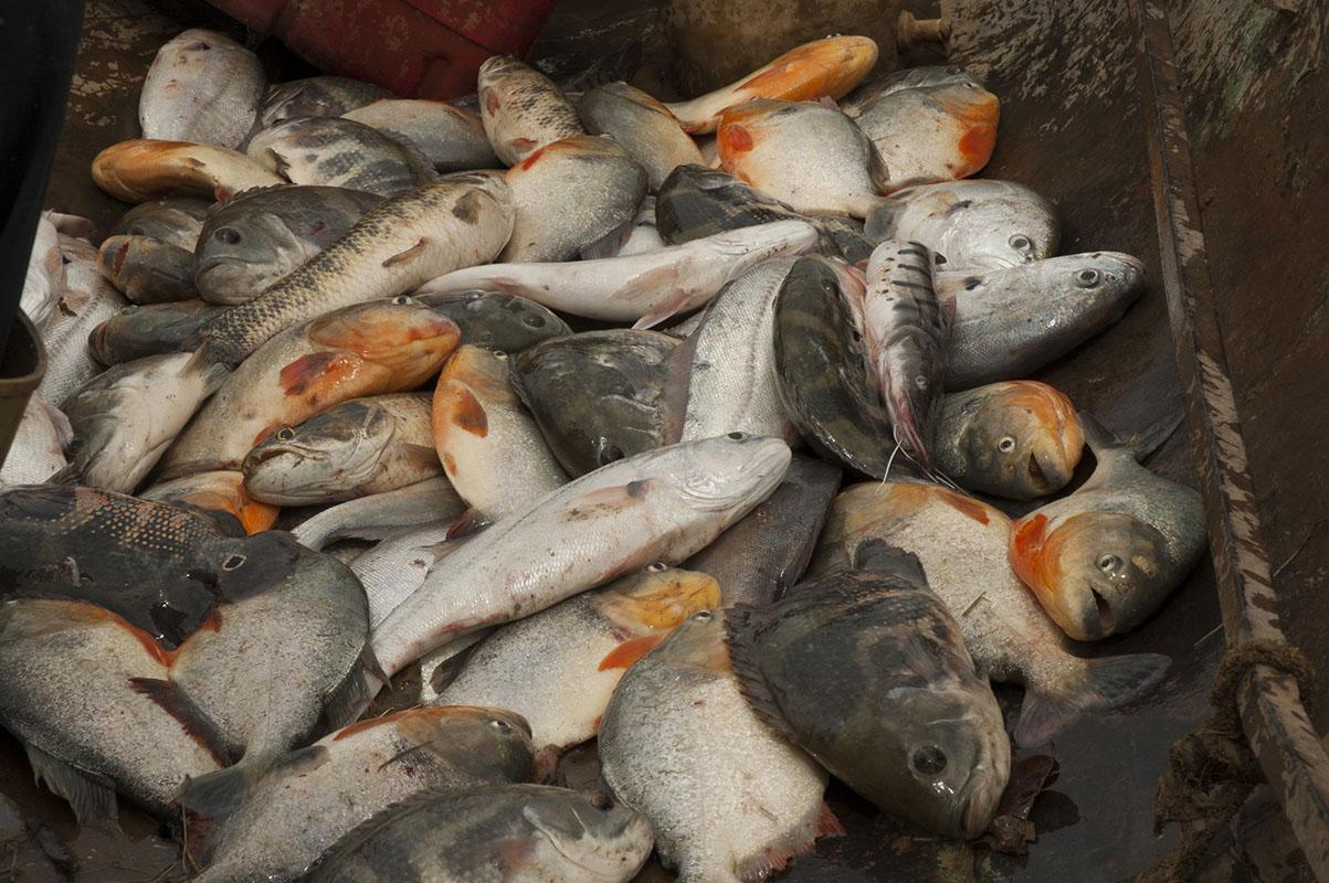 <p>Kuriara plná ryb. Los Llanos, Venezuela.</p>