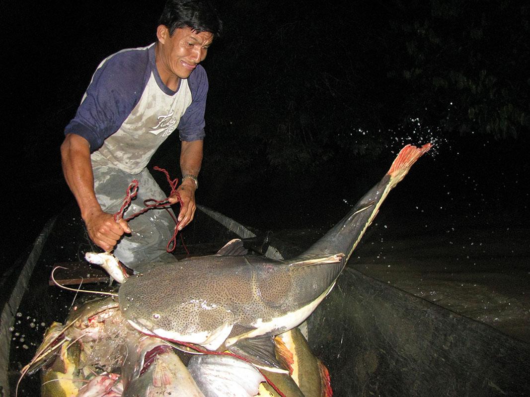 <p>Během nočního lovu se Pablo pokouší velkého sumce dostat do člunu. Rio Curaray (Yasuni), Ekvádor (foto Tonda Prouza).</p>