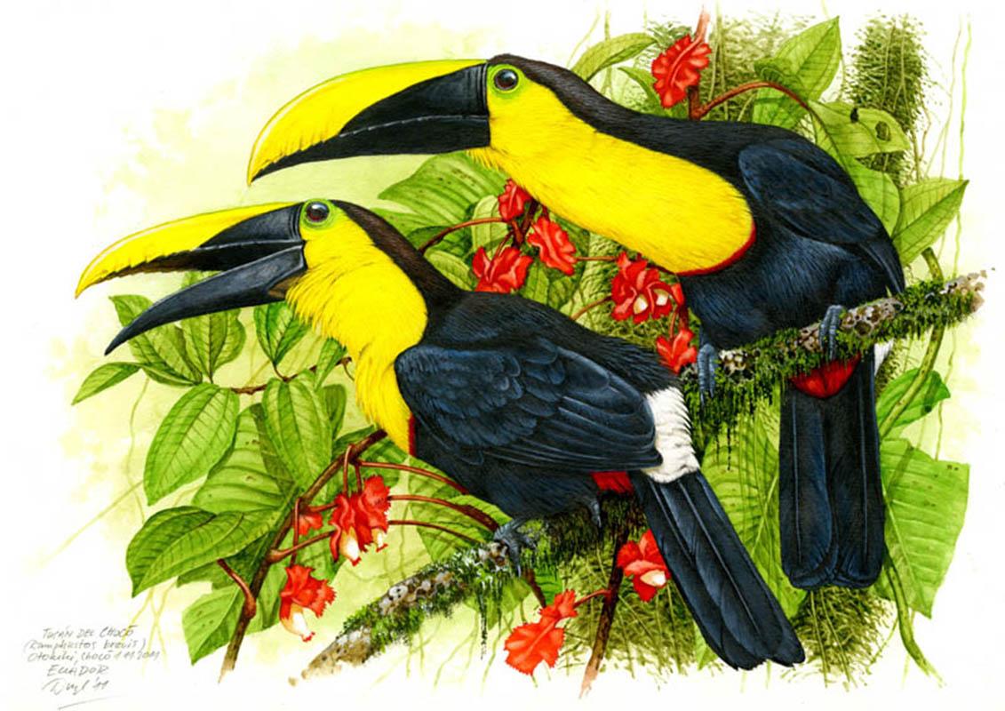 Choco toucan (Ramhastos brevis), Choco, Ecuador 2011.