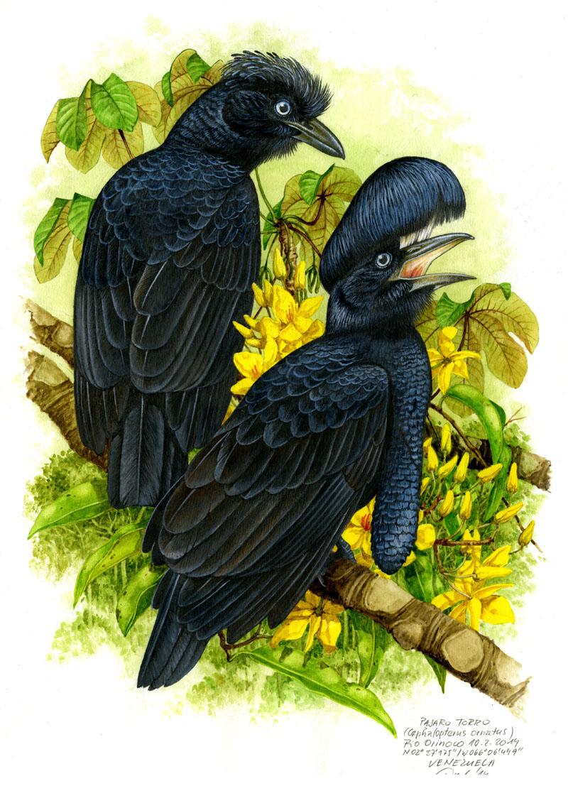 Amazonian umbrellabird (Cephalopterus ornatus), Rio Orinoco (Amazonia), Venezuela 2014 (sold).