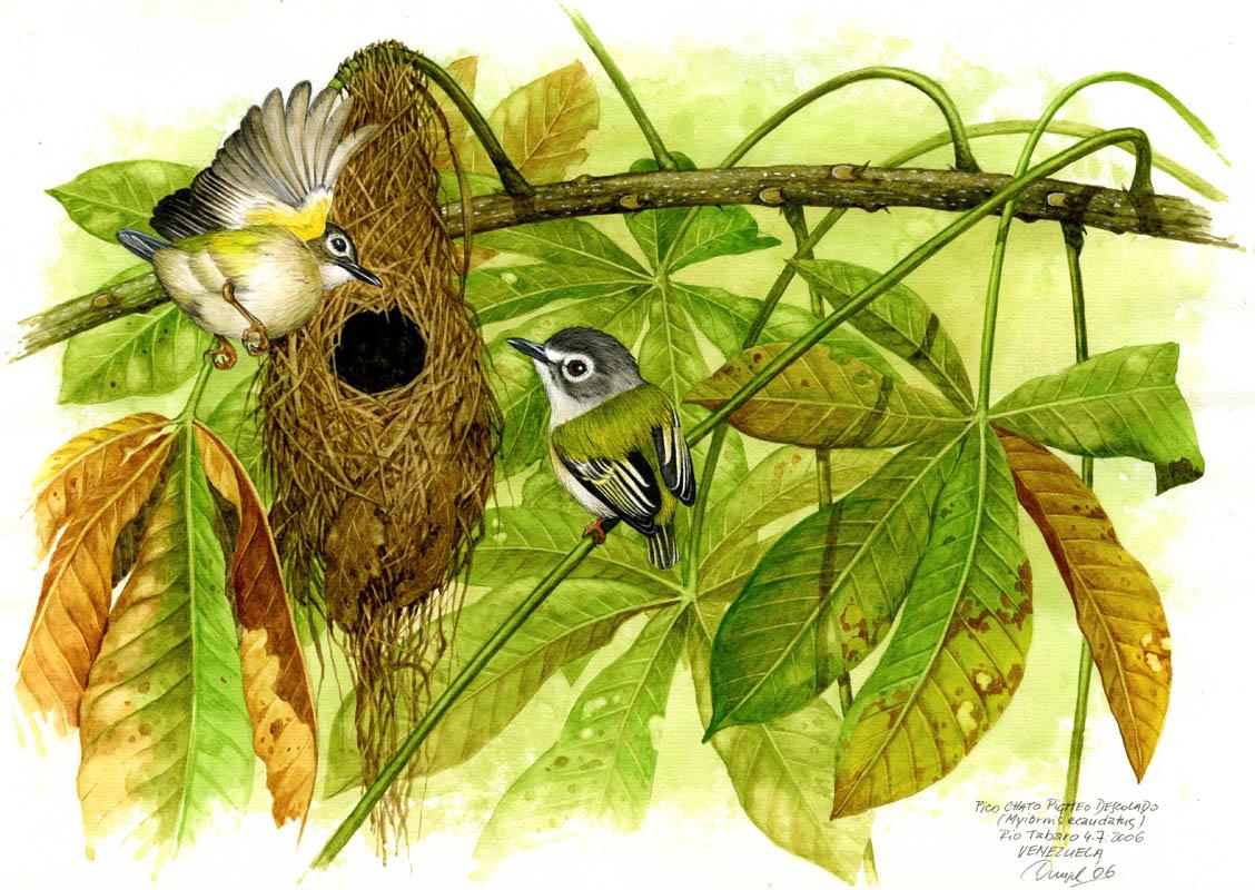 Tyránek krátkoocasý (Myiornis ecaudatus), Rio Tabaro (Amazonie), Venezuela 2006.