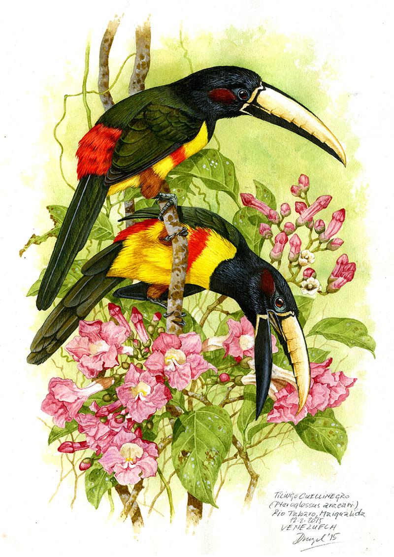 Arassari černohrdlý (Pteroglossus aracari), Rio Tabaro (Amazonie), Venezuela 2015 (prodáno).