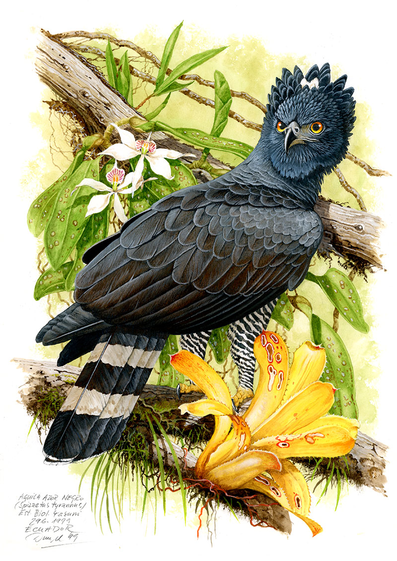 Orel černý (Spizaetus tyrannus), Yasuni (Amazonie), Ekvádor 1999 (prodáno).