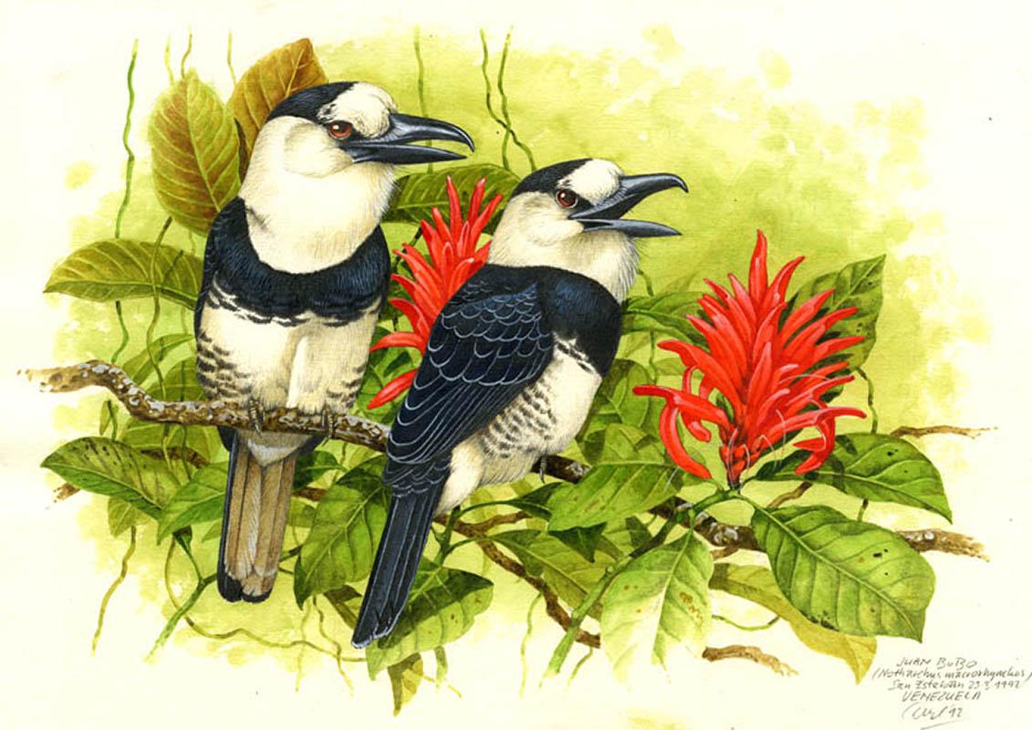 White-necked puffbird (Notharchus macrorhynchos), Cordillera de la Costa, Venezuela 1992.