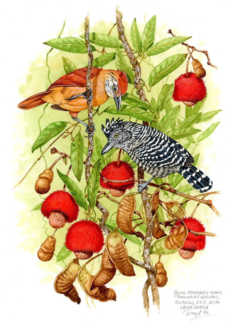 Bar-crested antbird (Tamnophilus doliatus), Rio Yatua (Amazonia), Venezuela 2014.