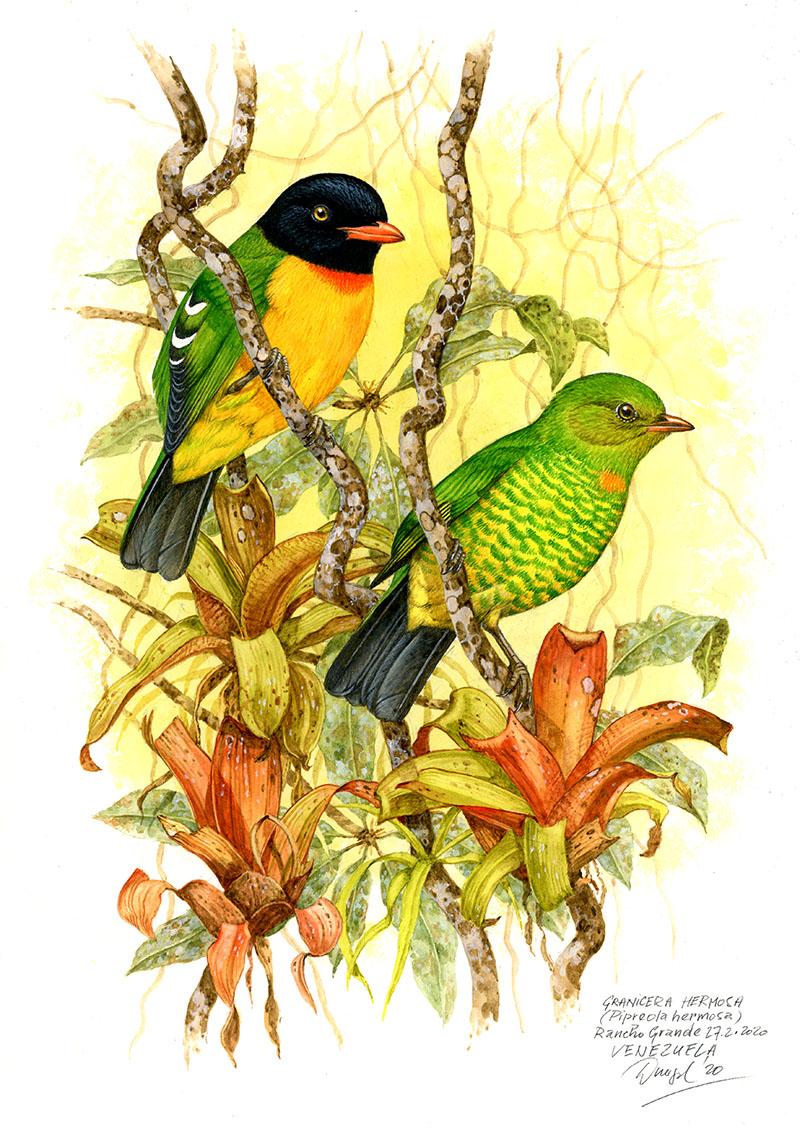 Kotinga ozdobná (Pipreola formosa), Rancho Grande, Venezuela 2020.