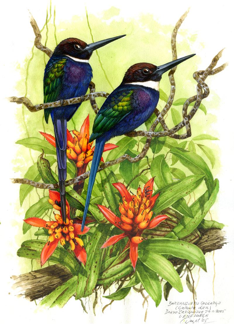 Paradise jacamar (Galbula dea), Casiquiare (Amazonia), Venezuela 2005.