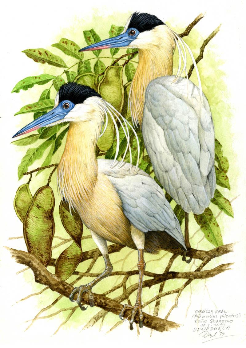 Volavka černohlavá (Pilherodius pileatus), Cano Quenamo (Amazonie), Venezuela 2014 (prodáno).