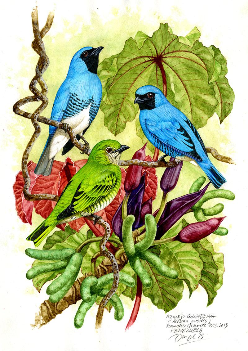 Tangara vlaštovčí (Tersina viridis), Rancho Grande, Venezuela 2013
