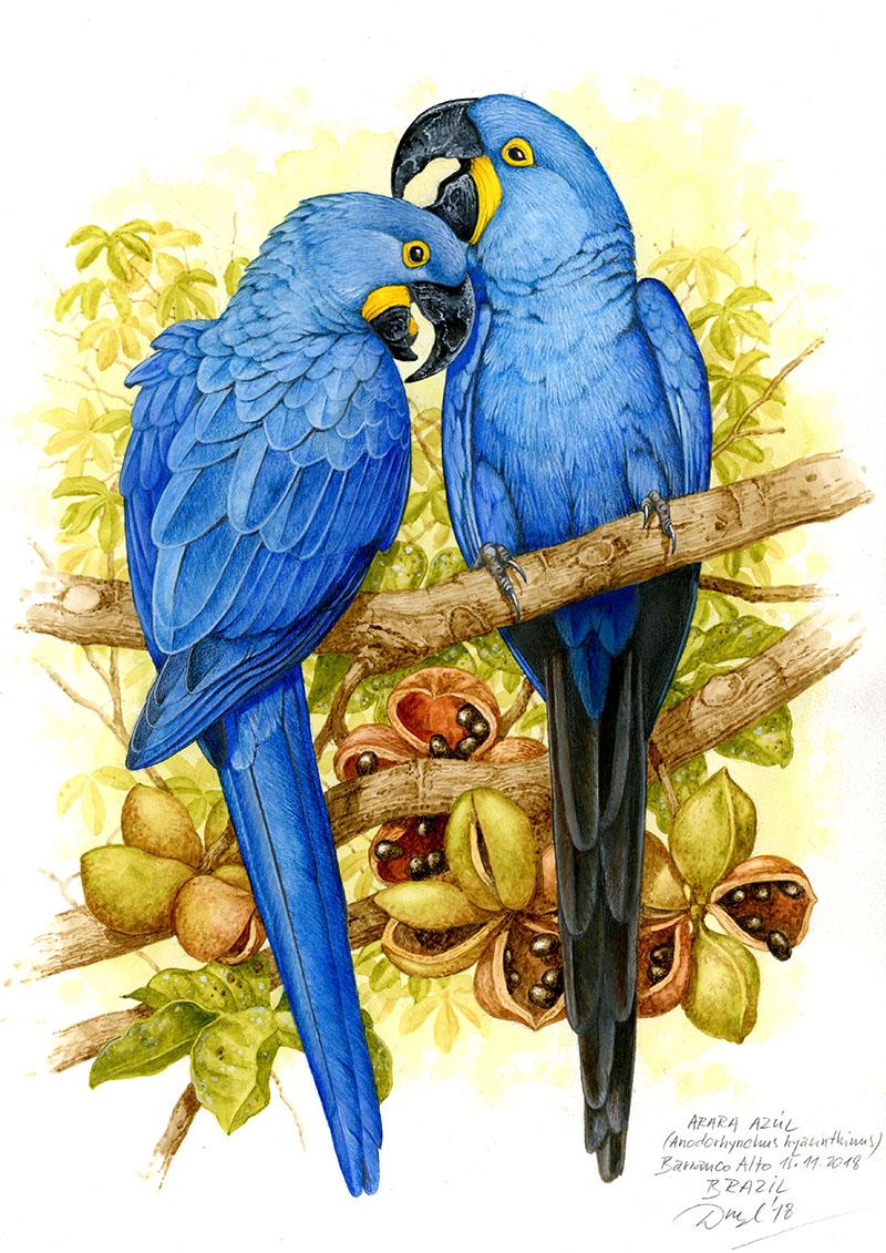 Hyacinth macaw (Anodorhynchus hyacinthinus), Pantanal, Brazílie 2018 (sold).