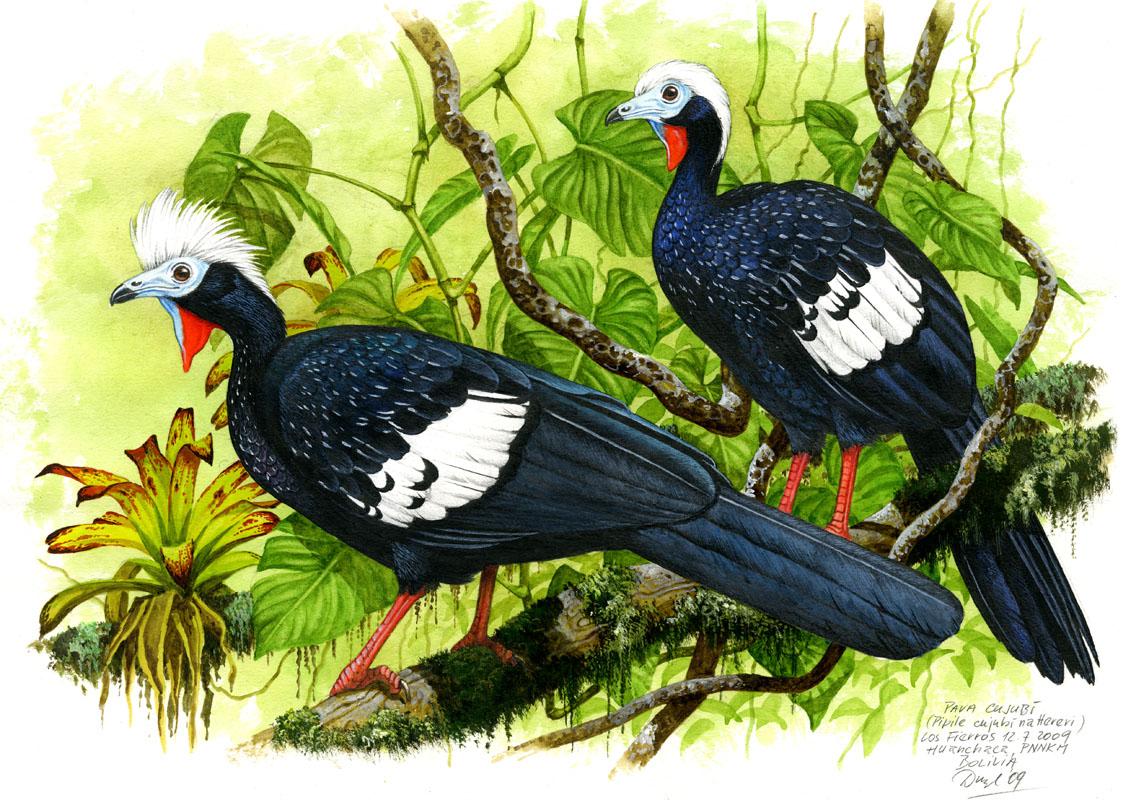 Guan červenohrdlý (Pipile cujubi), NP Noel Kempff Mercado (Amazonie), Bolivia 2009.