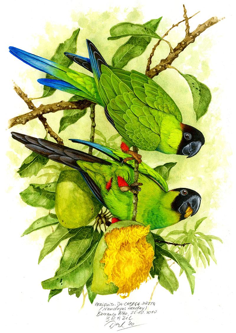 Nanday parakeet (Nandayus nenday), Pantanal, Brazil 2010.