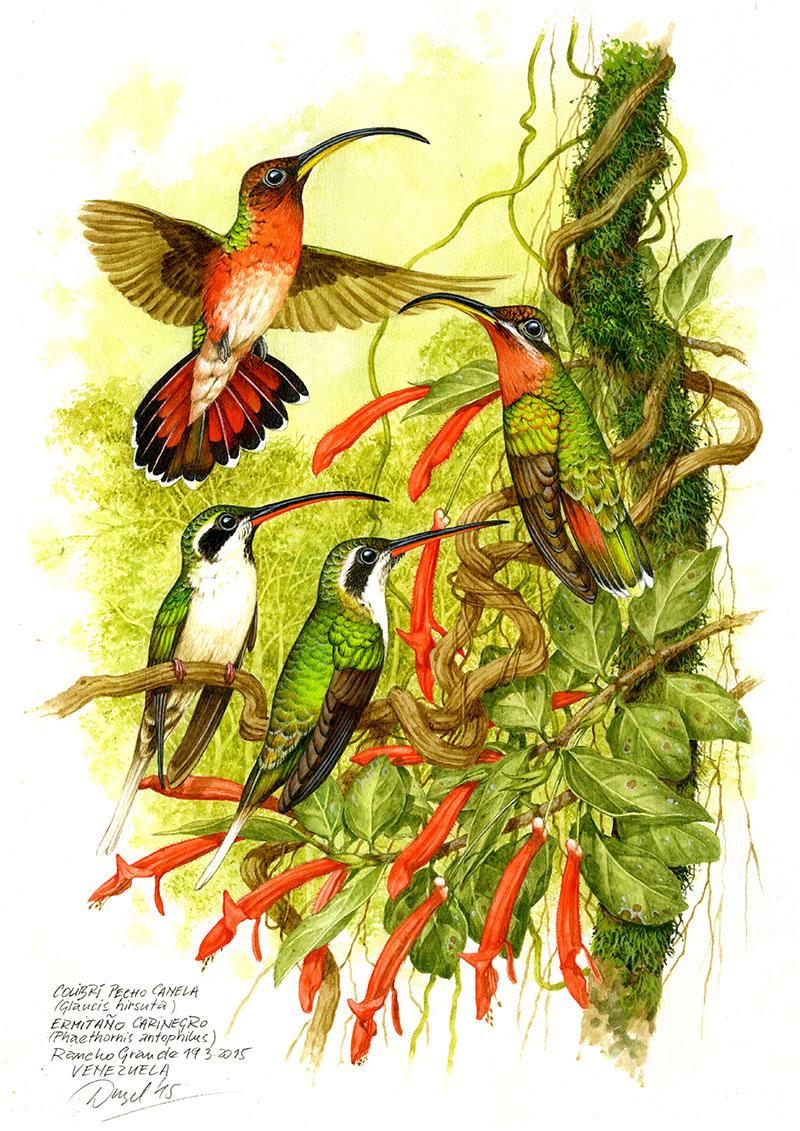 Kolibřík červenoocasý a plavobřichý (Glaucis hirsuta, Phathornis antophilus), Rancho Grande, Venezuela 2015 (prodáno).