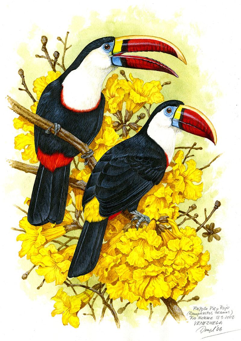 Tukan rudozobý (Ramphastos tucanus), Rio Nichare (Amazonie), Venezuela 2008 (prodáno).