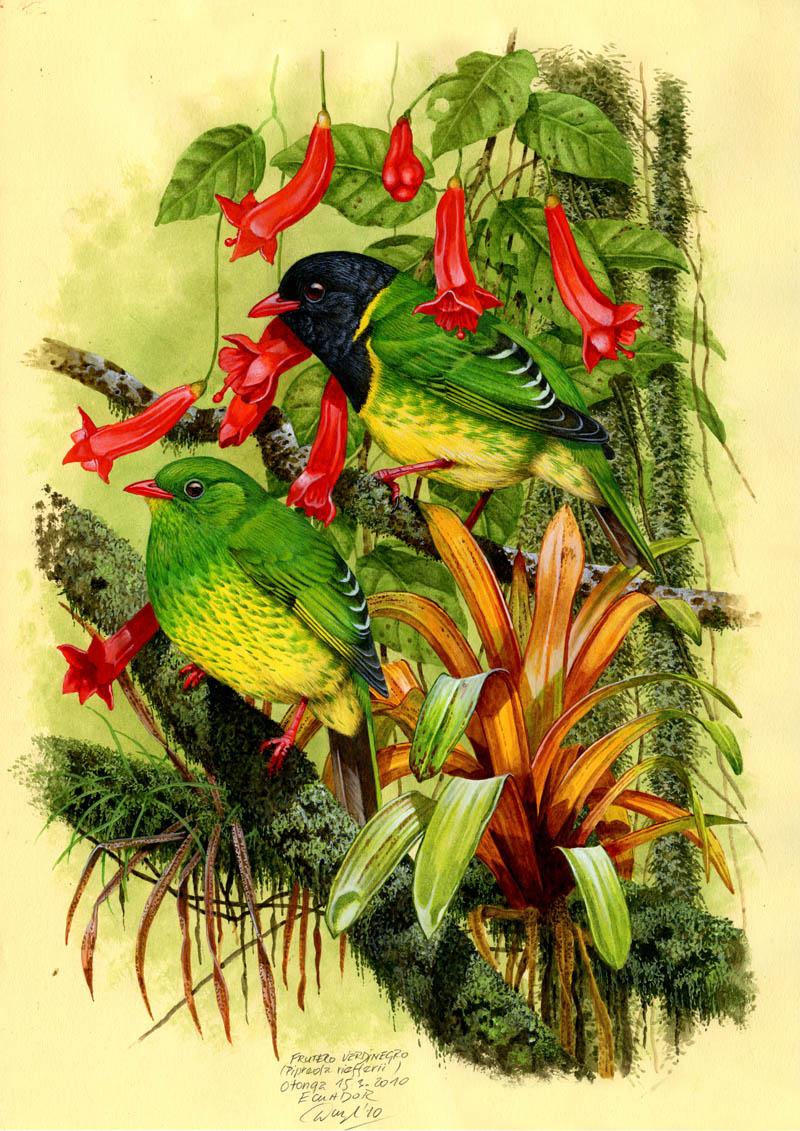 Kotinga zelenohřbetá (Pipreola riefferii), Západní Andy, Ekvádor 2010.