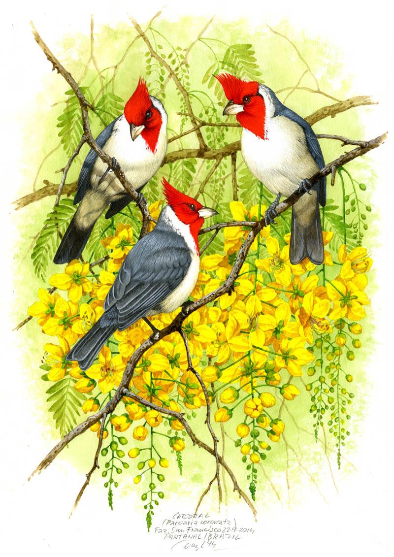 Red-crested cardinal (Paroaria coronata), Pantanal, Brazil 2014.