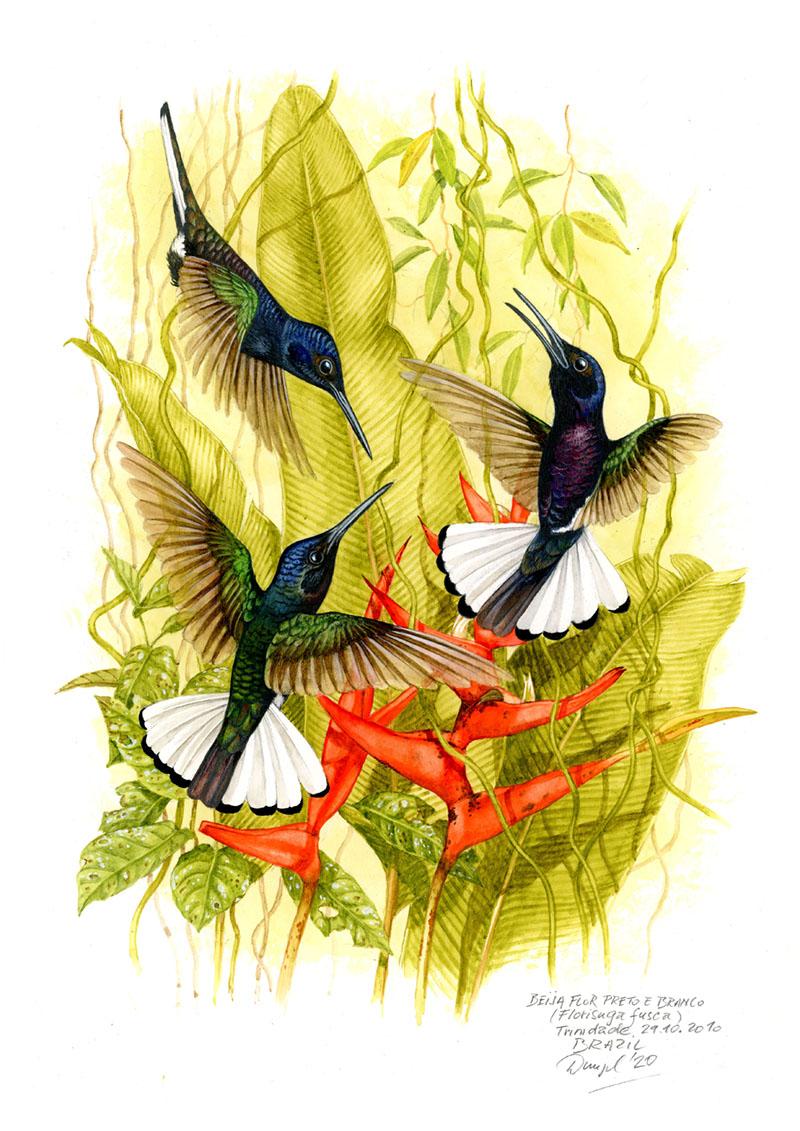 Kolibřík černobílý (Florisuga fusca), Mata atlantica, Brazílie 2010.