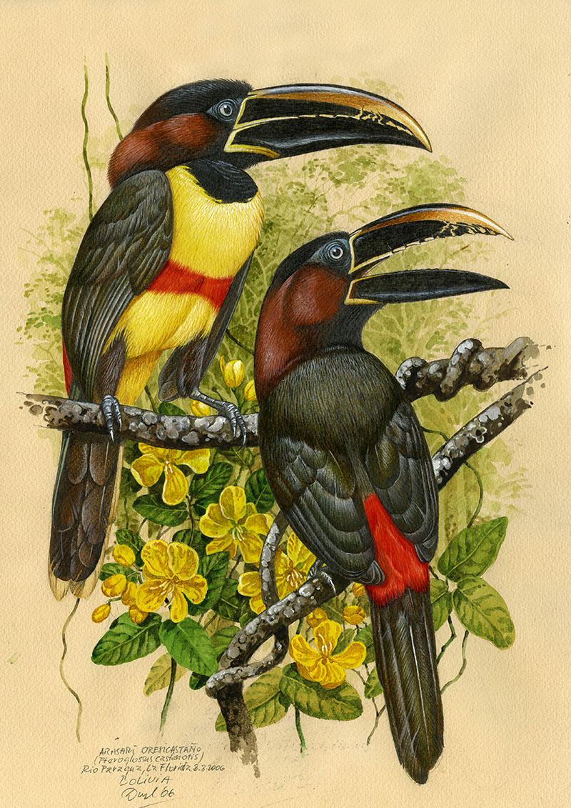 Arassari hnědouchý (Pteroglossus castanotis), Huanchaca (Amazonie), Bolivie 2015 (prodáno)..