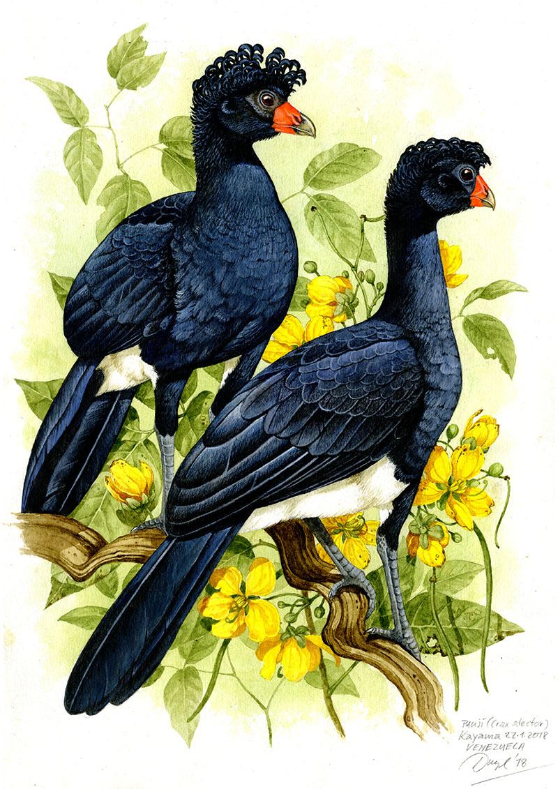 Black curassaw (Crax alector), Sierra Maigualida (Amazonia), Venezuela 2018 (sold).