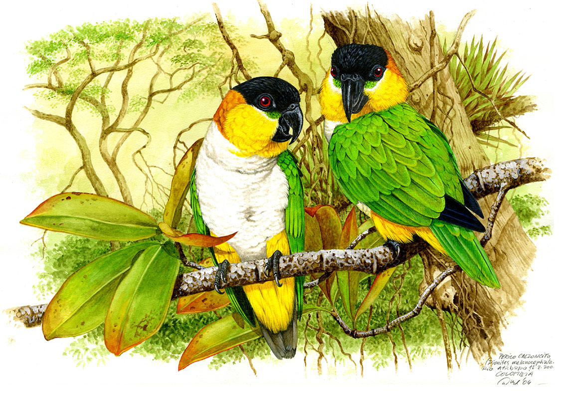 Popoušek černotemenný (Pionites melanocephala), Rio Atabapo (Amazonie), Colombia 2004.