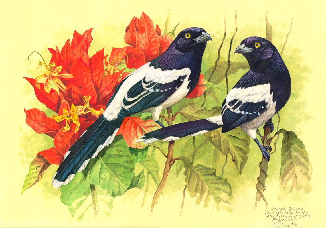 Magpie tanager (Cissops leveriana), Rio Pastaza (Amazonia), Ecuador 1996.