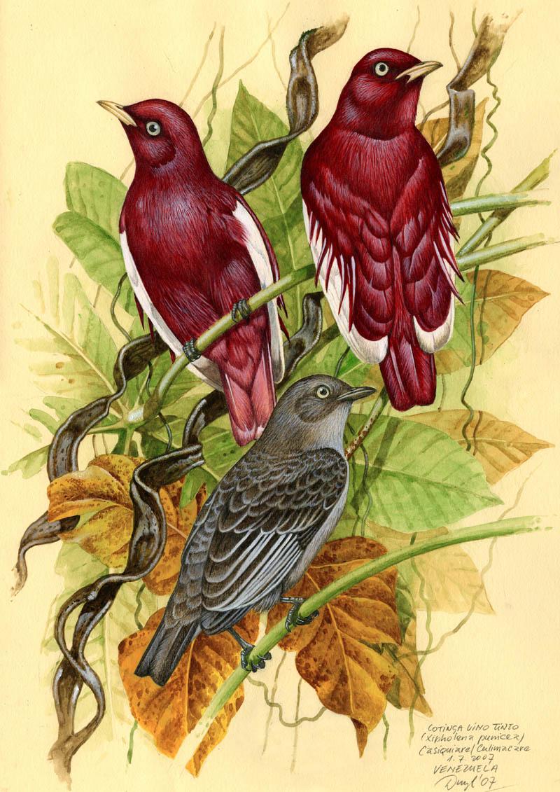 Kotinga vínorudá (Xipholena punicea), Casiquiare (Amazonie), Venezuela 2007.