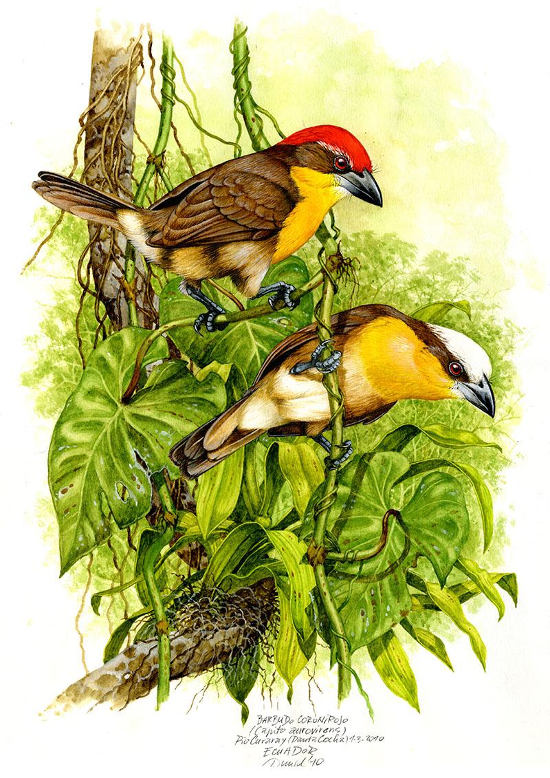 Scarlet-crowned barbet (Capito autovirens), Rio Curaray (Aamzonia), Ecuador 2010.