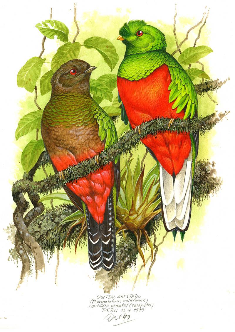 Kvesal přílbový (Pharomachrus antisianus), Cordillera oriental, Peru 1999