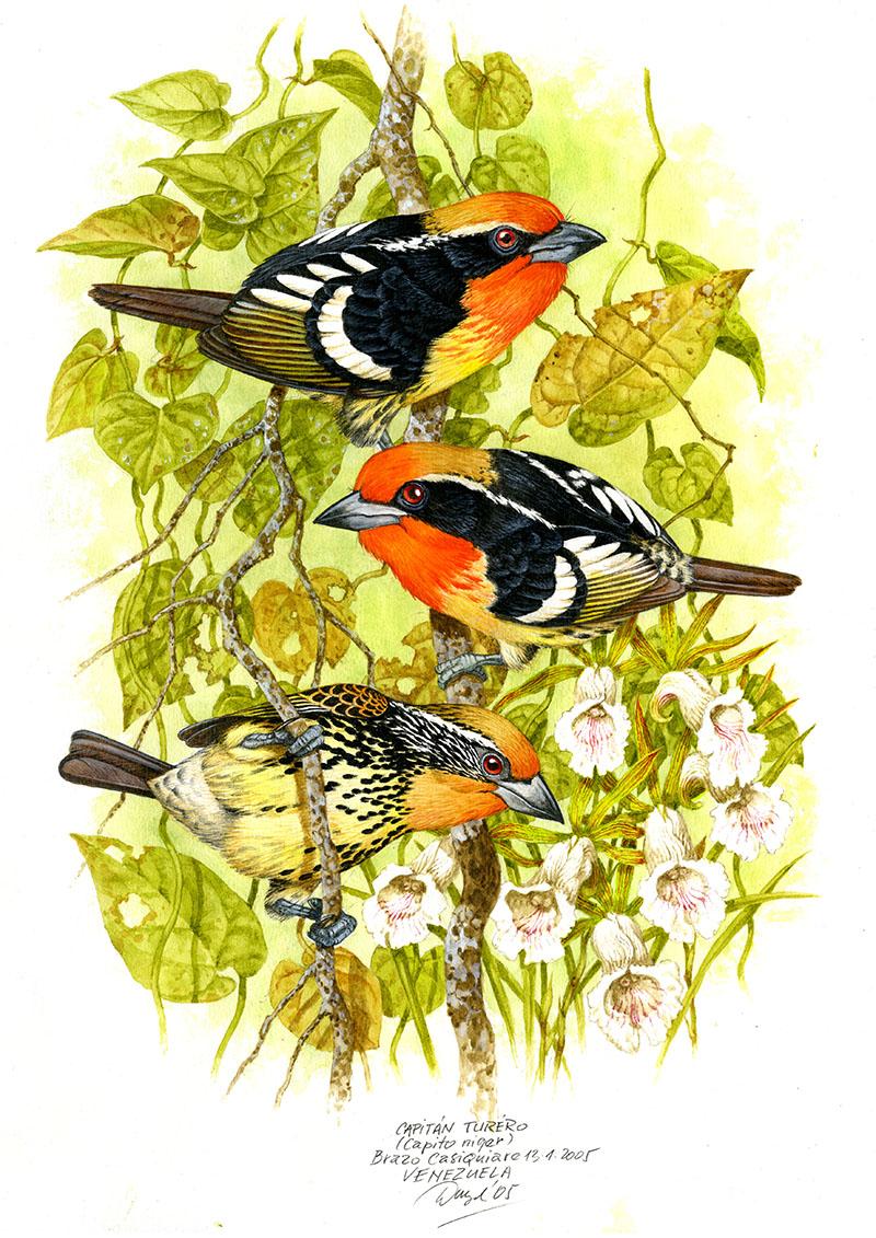 Black-spotted barbet (Capito niger), Casiquiare (Amazonia), Venezuela 2005 (sold).