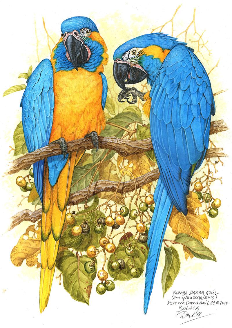 Blue-throared macaw (Ara glaucogularis), Reserva Barba azúl, Bolivia 2018 (sold).