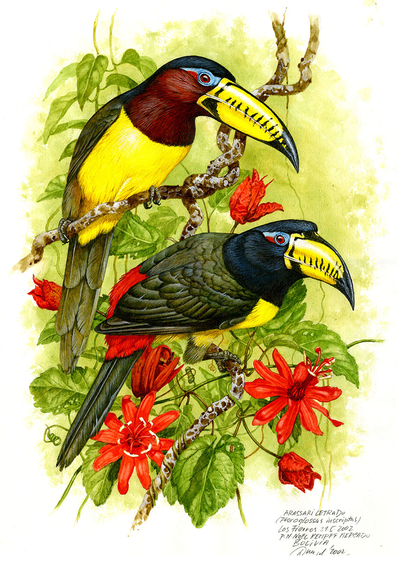 Arassari amazonský (Pteroglossus inscriptus), Huanchaca (Amazonie), Bolivia 2002 (prodáno).