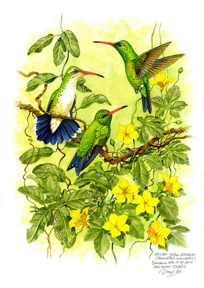 Kolibřík zlatobřichý (Chlorostilbon aureoventris), Pantanal, Brazílie 2008.