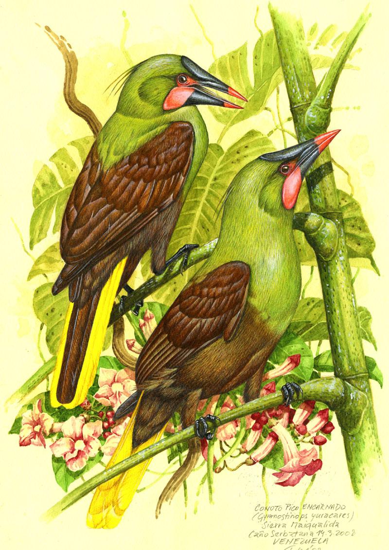 Vlhovec olivový (Psarocolius yuracares), Cano Serbatana (Amazonie), Venezuela 2008.