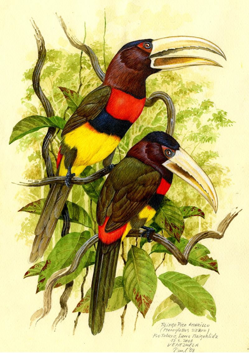 Arassari žlutozobý (Pteroglossus azara), Rio Tabaro (Amazonie), Venezuela 2008.