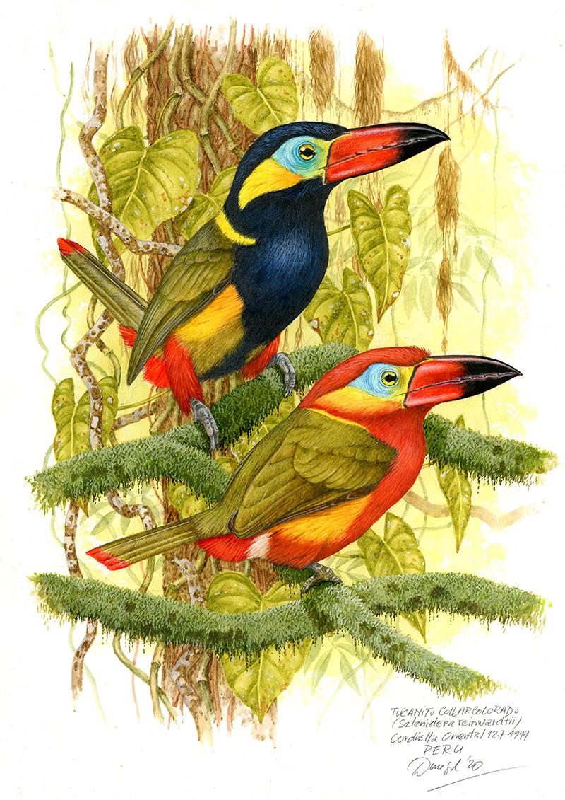 Arassari límcový (Selenidera reinwardtii), Cordillera oriental, Peru 1999.