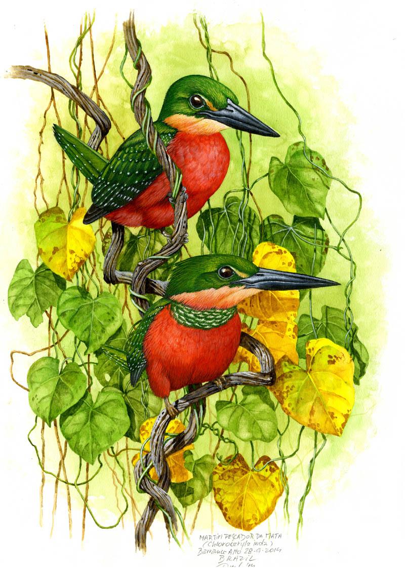 Green-and-rufous kingfisher (Chloroceryle inda), Pantanal, Brazil 2014.