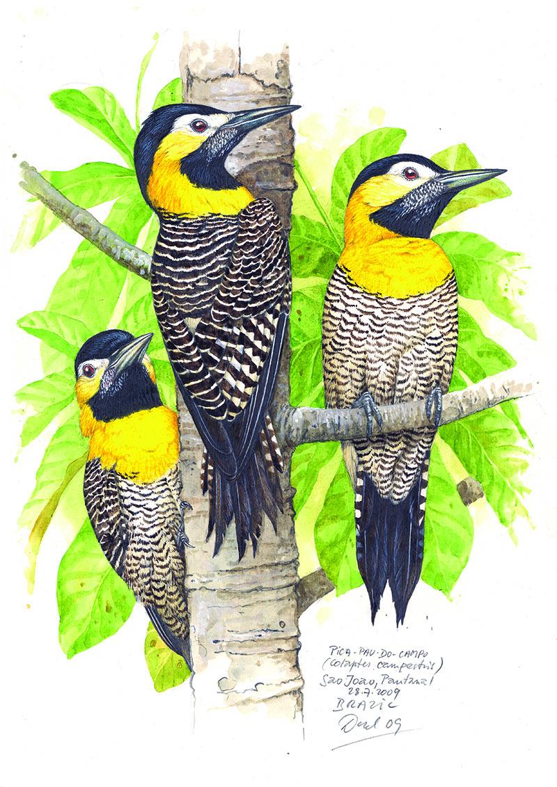 Datel polní (Colaptes campestris), Pantanal, Brazílie 2009.