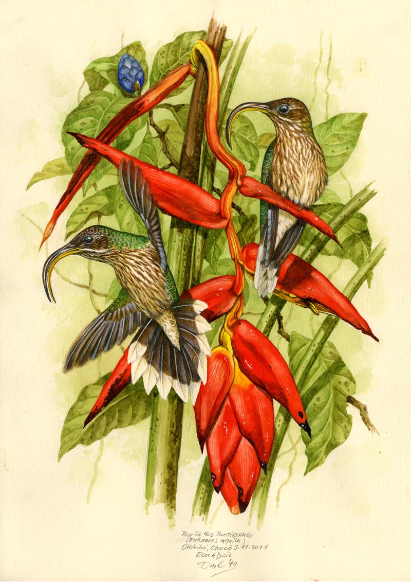 Kolibřík orlozobec (Eutoxeres aquila), Západní Andy, Ekvádor 2011 (prodáno).